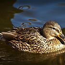 Two Detailed Ducky by Tim Denny