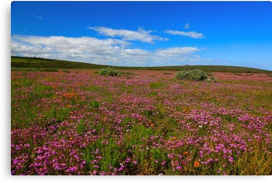 Purple Fields by Cameron B