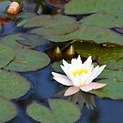 Water Lily by James Stevens