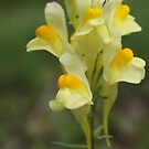 Yellow Toadflax by marens