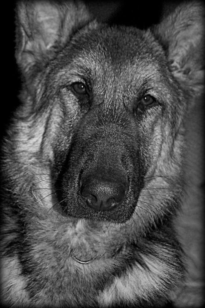 German Shepherd Portrait by Lou Wilson