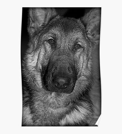 German Shepherd Portrait Poster