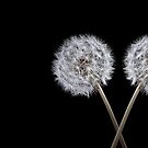 Dandelion on black 2 by Phillip Shannon