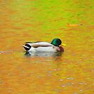 Color Duck by Alex Call