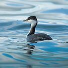 slavonian grebe by Steve Shand