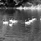 B&W Ducks and Geese by Jess Meacham