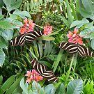 Zebra long wing butterfly trio von Irisangel
