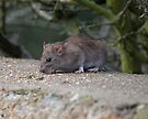 Common Brown Rat by Nigel Bangert