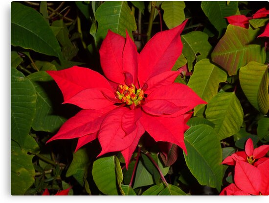Poinsettia by Sharon Brown