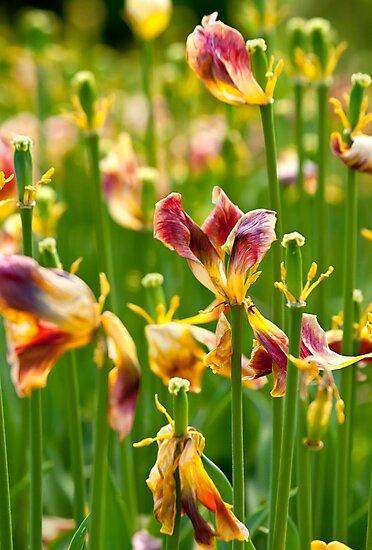 Dry Tulip Field by Kuzeytac