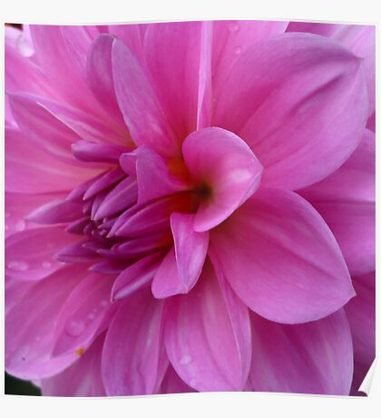 Petals (available in ipad cases) Poster