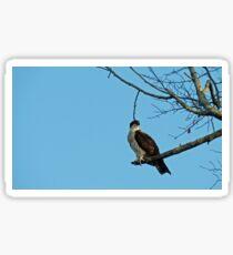 Hawk Perched 3 Sticker