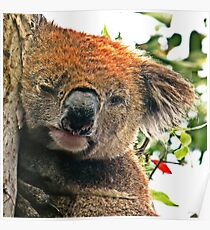 Otways Koala Poster