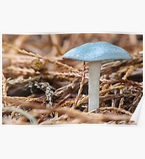 Clitocybe Odora   [ Aniseed  Toadstool ] Poster