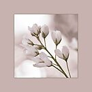 Cherry Blossom by marina63