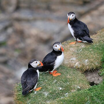 Puffins, Sumburgh Head, Shetland by TheDabber