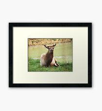 A Young Elk Bull Framed Print