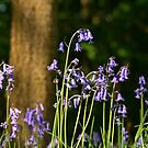 Bluebell Wood by RoystonVasey