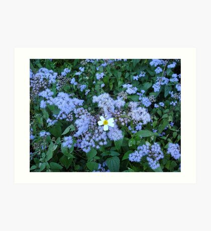 Wild Ageratum and Bidens alba (He loves me, he loves me not) Art Print
