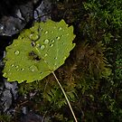water beaded on leaf by David Galson