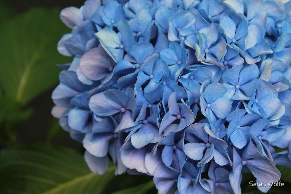 Blue Hydrangeas by Sarah Wolfe
