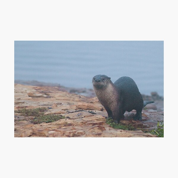 Otter on a rocky shore Photographic Print