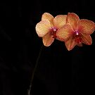 Orchid blossom by Penny Fawver