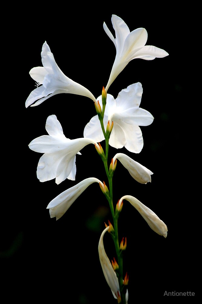 Watsonia by Antionette