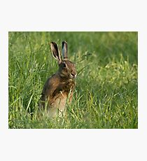 European Brown Hare Photographic Print