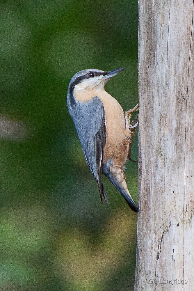 Nuthatch by Gill Langridge