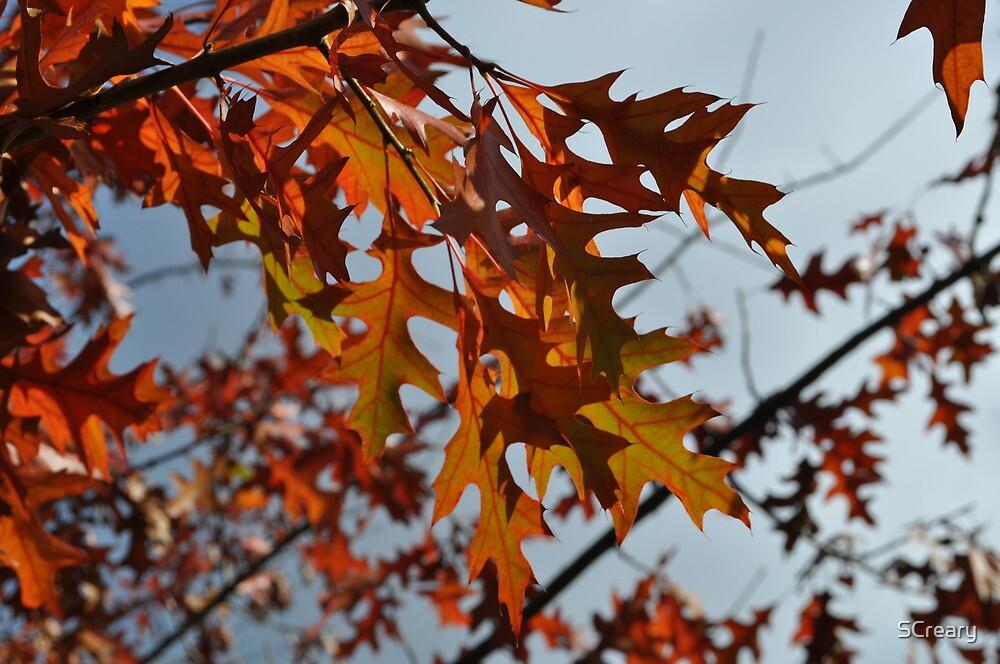 Turkey Oak in Autumn by Samantha Creary