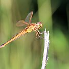 Dragonfly 1 by ©Dawne M. Dunton