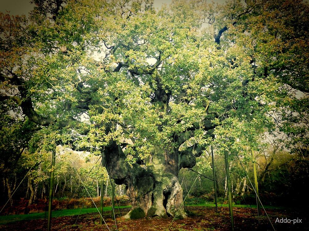The Major Oak by Addo-pix