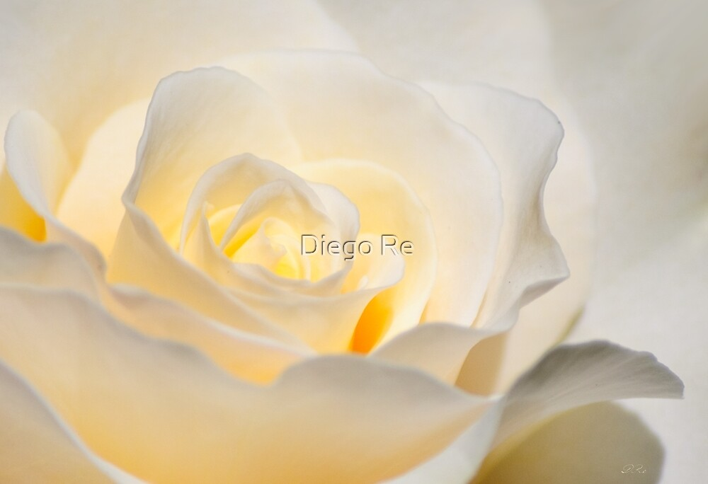 White Rose Blooming by Diego Re