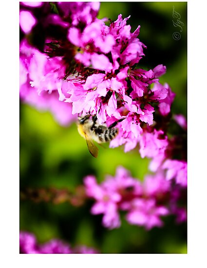 Bee on a Flower by johnjgt