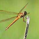 Dragonfly 2 by ©Dawne M. Dunton
