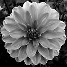Black (and White) Dahlia by Jess Meacham