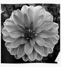 Black (and White) Dahlia Poster