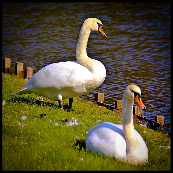 White Swans in the Sun by johnjgt