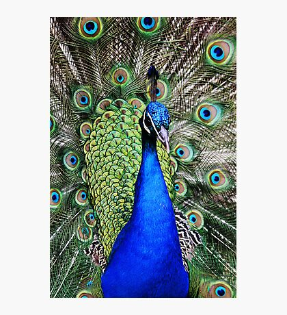 Peacock in full Bloom Photographic Print