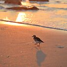 Morning Ruddy Turnstone by ©Dawne M. Dunton