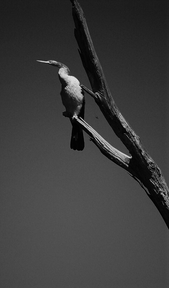 cormorant in the morning by stefan mazur