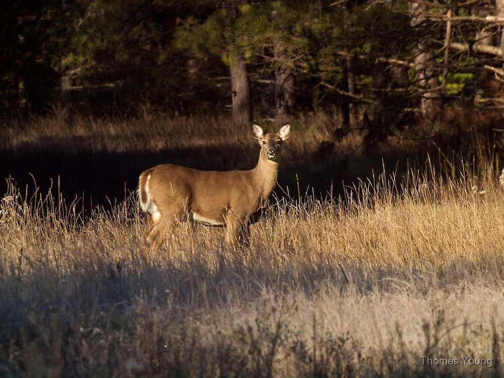 Whitetail Doe by Thomas Young