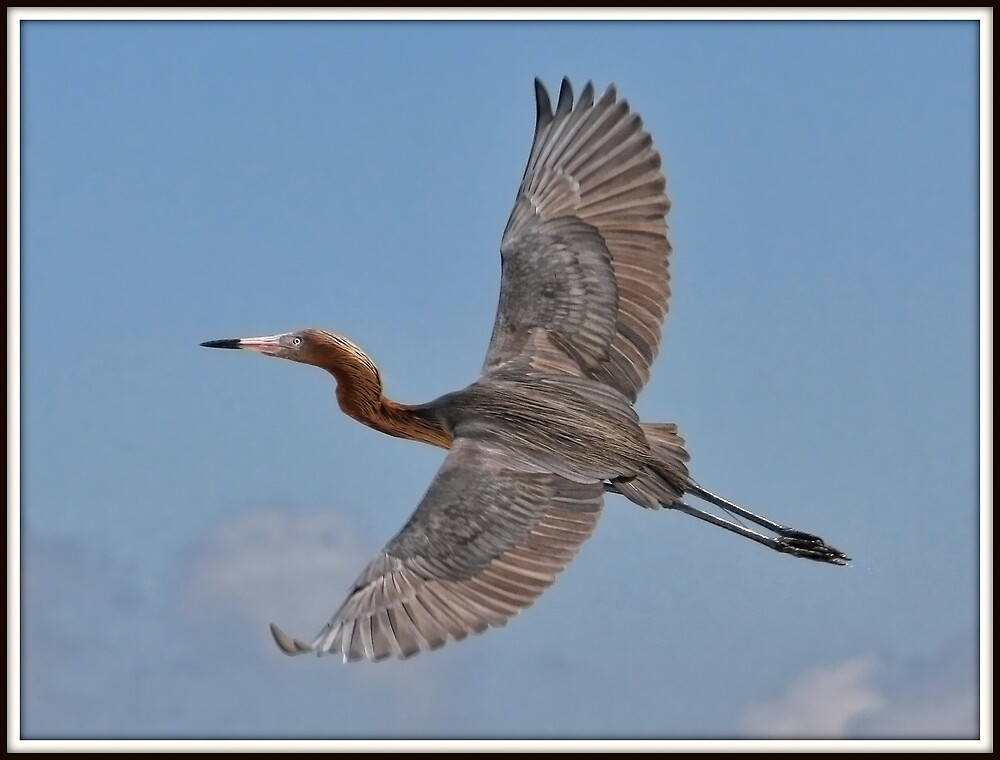 Reddish Egret in Flight by Mikell Herrick