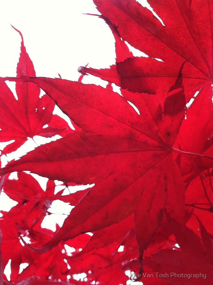 Japanese maple leaf by Julie Van Tosh Photography