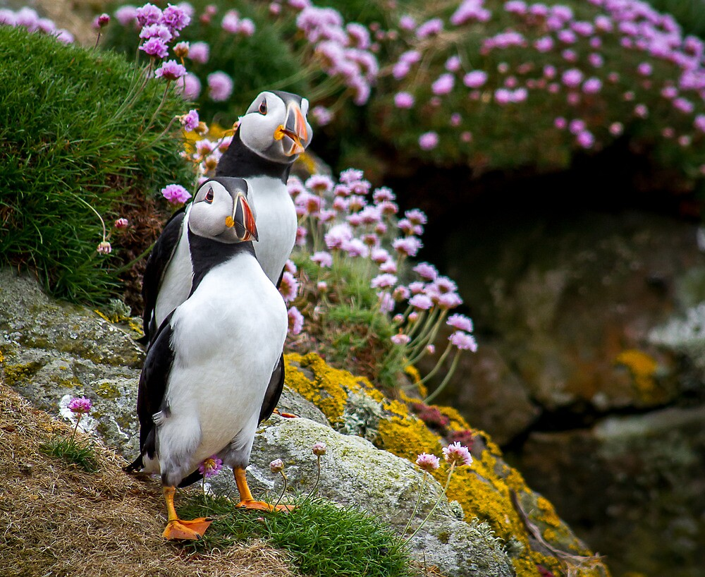 Puffins (I), Lunga Island, Scotland by JourneyPhotos