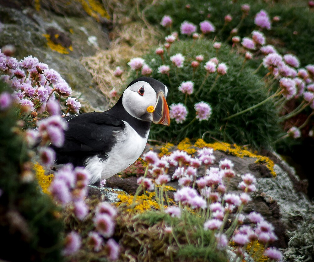Puffins (XI), Lunga Island, Scotland by JourneyPhotos