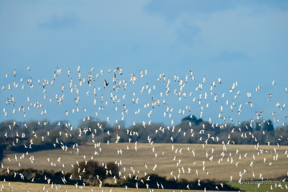 Golden plovers flocking over Bannow Bay, County Wexford, Ireland by Andrew Jones