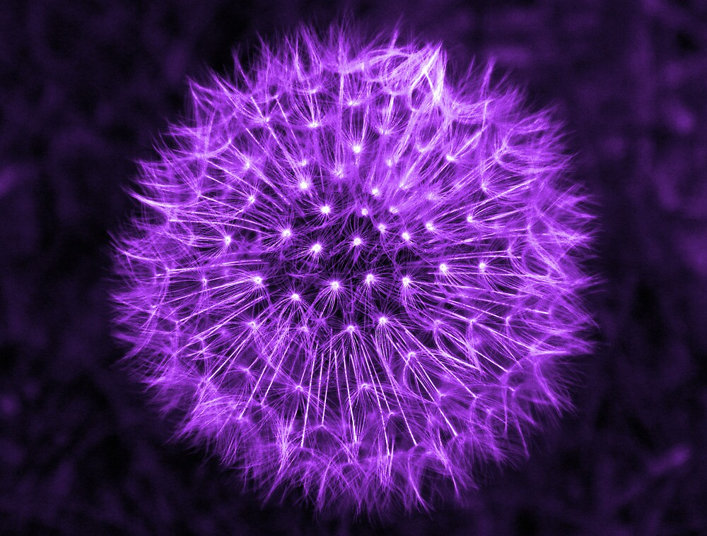 Dandelion Lavender by DavidWHughes