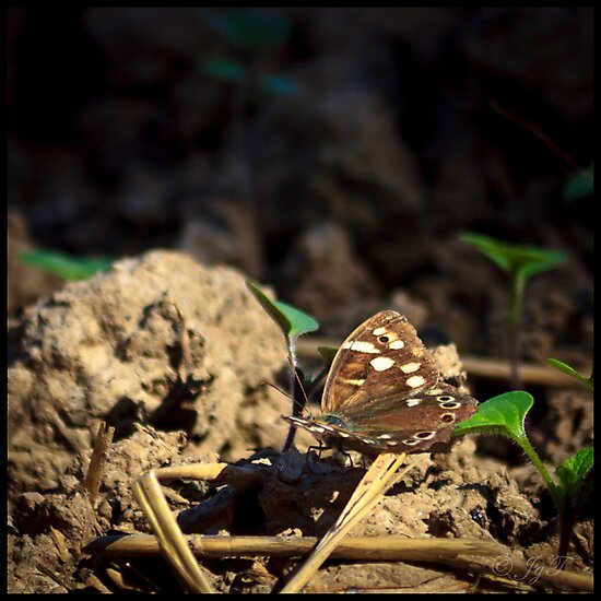 Speckled Wood by johnjgt